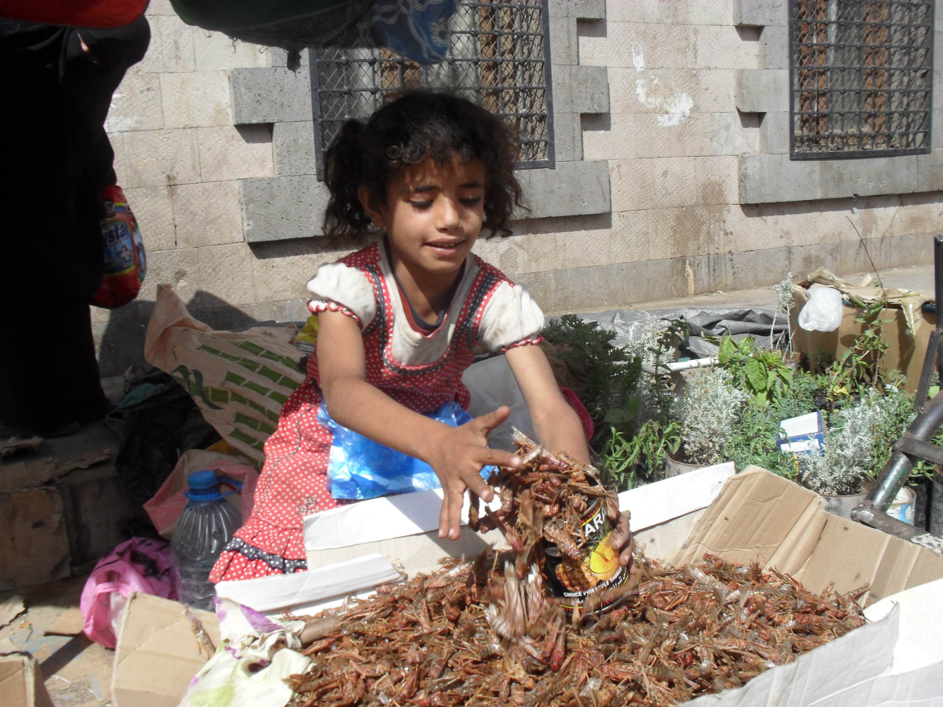 Young Jihad scoops up locusts she sells in the old city of Sanaa (MEE/Naseh Shaker)