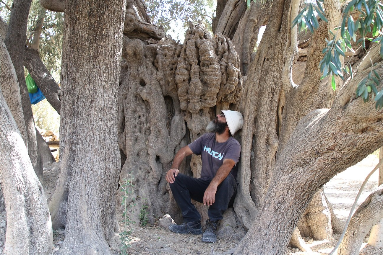 oldest olive tree in Palestine